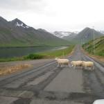Trois moutons traversant hors des clous